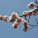 japan_plum_trees_kyoto_08