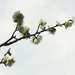 japan_plum_trees_kyoto_10