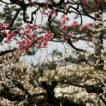 japan_plum_trees_kyoto_11