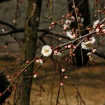 japan_plum_trees_kyoto_12