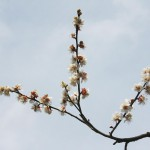 japan_plum_trees_kyoto_13