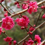 japan_plum_trees_kyoto_14
