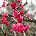 japan_plum_trees_kyoto_15
