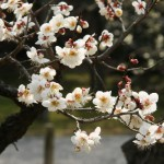japan_plum_trees_kyoto_17