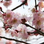 japan_plum_trees_kyoto_20