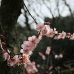 japan_plum_trees_kyoto_21