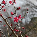 japan_plum_trees_kyoto_24