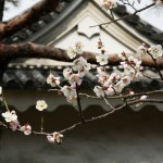 japan_plum_trees_kyoto_28