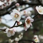 japan_plum_trees_kyoto_29