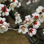 japan_plum_trees_kyoto_30