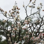 japan_plum_trees_kyoto_31