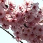japan_hanami_2012_24
