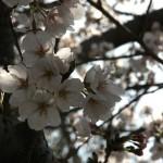 japan_hanami_2012_35