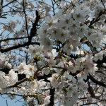japan_sakura_2012_01
