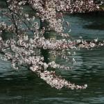 japan_sakura_2012_02