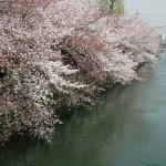 japan_sakura_2012_05