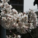 japan_sakura_2012_10