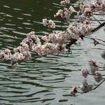 japan_sakura_2012_11