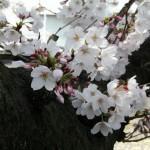 japan_sakura_2012_12