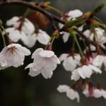japan_sakura_2012_31