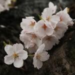 japan_sakura_2012_34