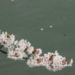 japan_sakura_2012_39