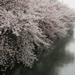 japan_sakura_2012_41