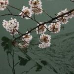 japan_sakura_2012_42
