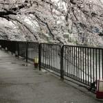 japan_sakura_2012_43