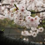 japan_sakura_2012_44