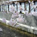 Канал чудно оттеняет сакуру