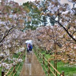 Дорога из сакуры