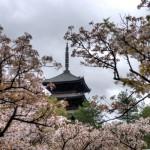 Прячась в ветвях сакуры