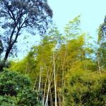 Здесь растёт высокий бамбук