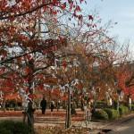 Сакура в парке. В апреле это все цветет бело-розовым