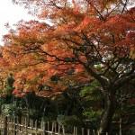japan_momiji-gari_2012_2_12