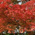 japan_momiji-gari_2012_2_13
