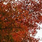 japan_momiji-gari_2012_2_21