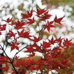 japan_momiji-gari_2012_49