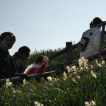 japan_narcissus_08