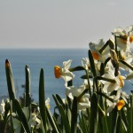 japan_narcissus_09