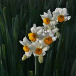 japan_narcissus_49
