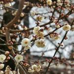 japan_baikasai_2013_73