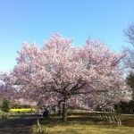 japan_early_sakura_blossom_05