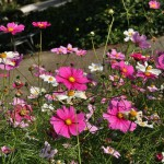 japan_flowers_04