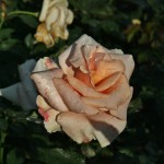 japan_flowers_08