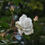 japan_flowers_14