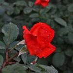 japan_flowers_15