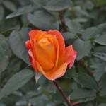 japan_flowers_20