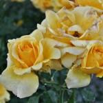 japan_flowers_21